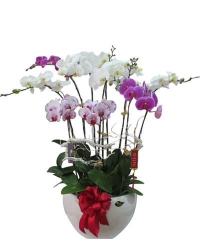 10 cành hoa trắng,tím, tím viền giống đài loan giá 2.350.000đ