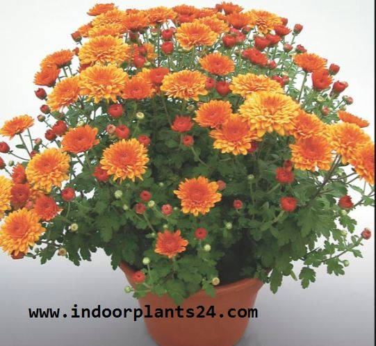 Florist's Chrysanthemum (Chrysanthemum Morifolium) Indoor Plant photo