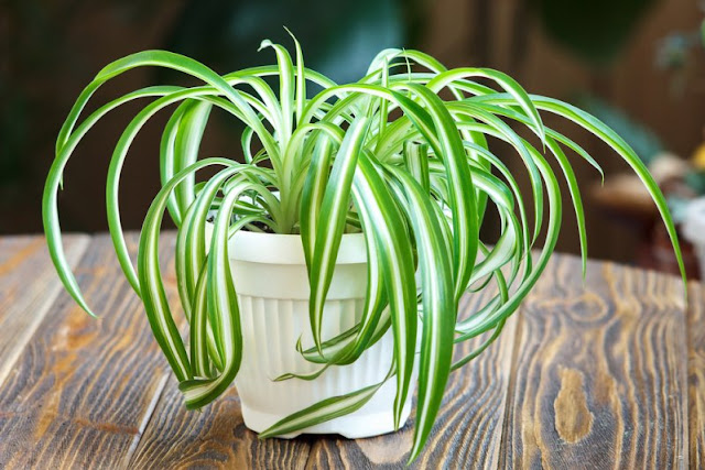 The chlorophytum