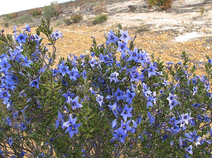 Esperance Wildflowers Halgania Lavandulacea Blue Bush