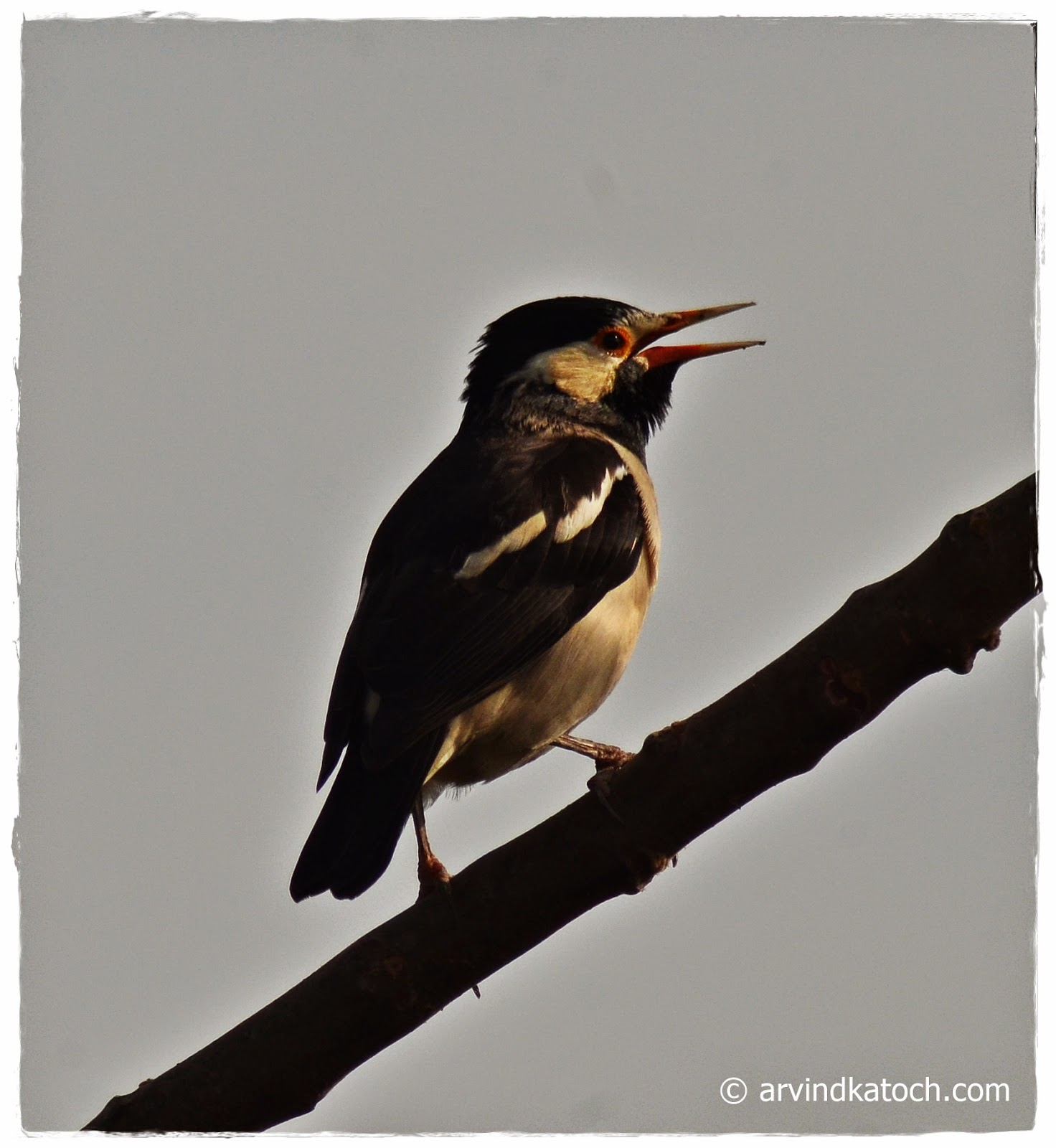 Pied Myna, Asian Pied startling, Myna, Bird, Punjab