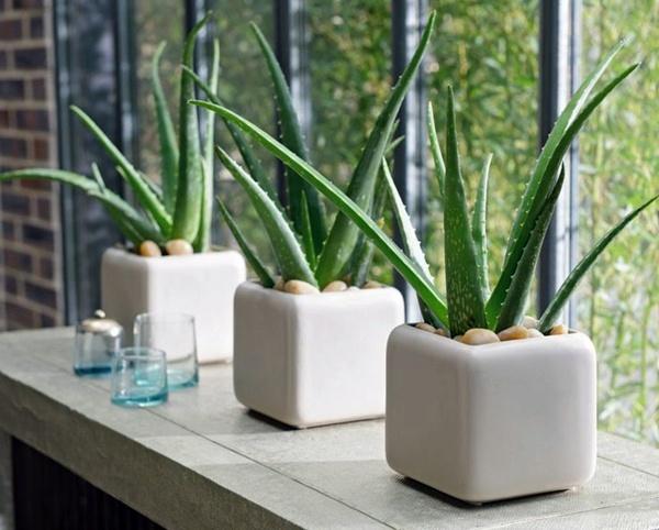 พืชที่ช่วยให้อากาศบริสุทธิ์