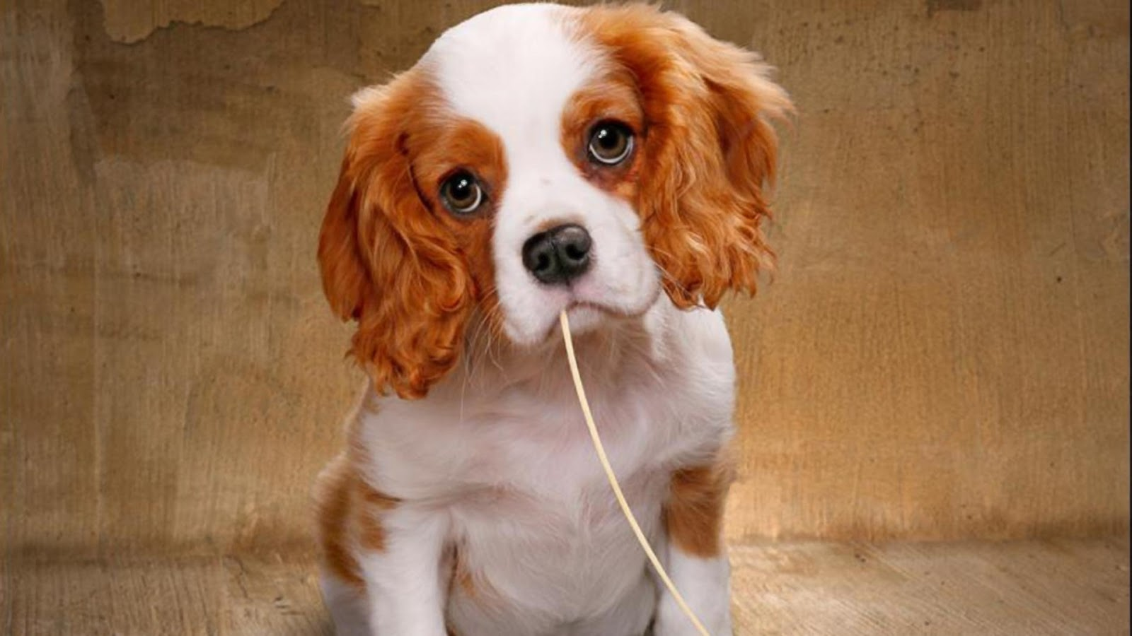 Fondos De Pantalla De Animales Bebes: Fondo De Pantalla Perros 1920x1080