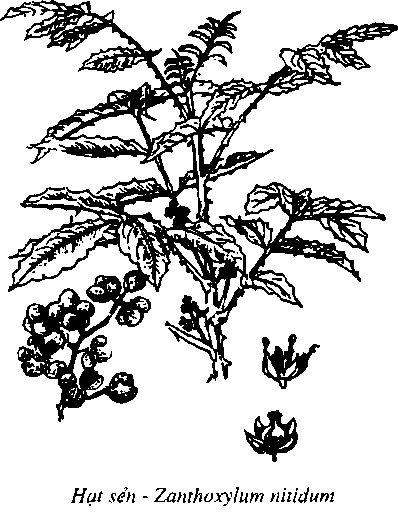 Hình vẽ Hạt Sẻn - Zanthoxylum nitidum - Nguyên liệu làm thuốc Chữa Bệnh Tiêu Hóa