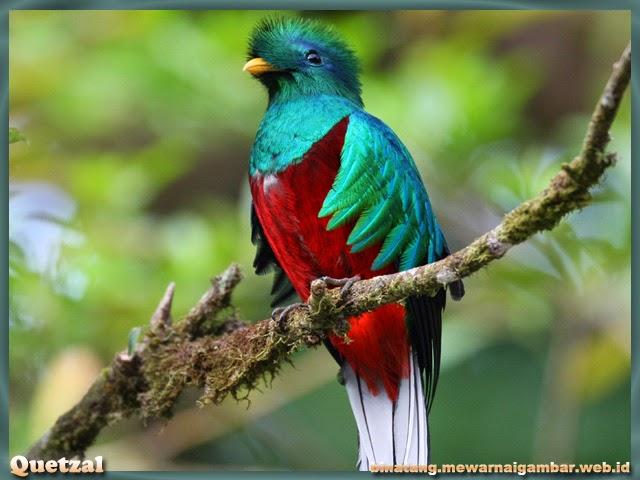 Gambar Burung Quetzal