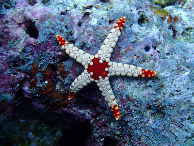 estrella espinosa Fromia nodosa