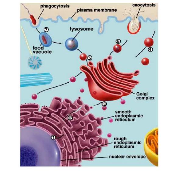 Komponen yang menyusun endomembran