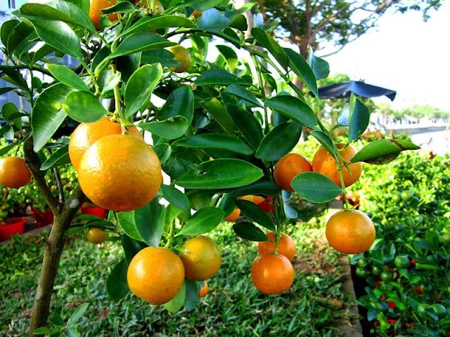 Marumi Kumquat Jam Recipe (Mứt Quất) 2