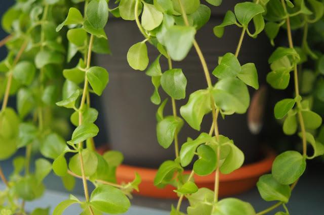 Rotundifolia peperomia