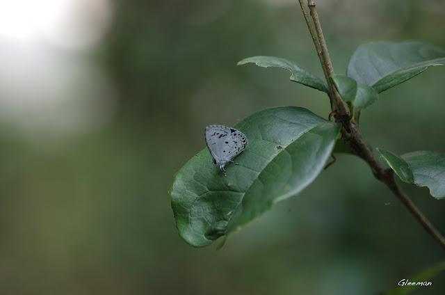 雞南山的台灣琉璃小灰蝶