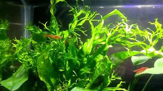 Tanaman aquascape windelov untuk pemula