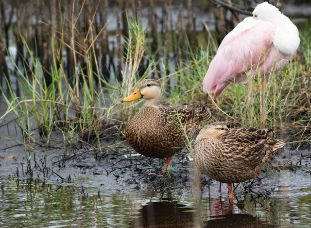Mottled Duck - Merritt Island, Florida
