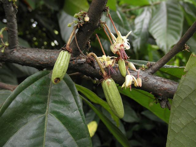 Frutticini Cacao