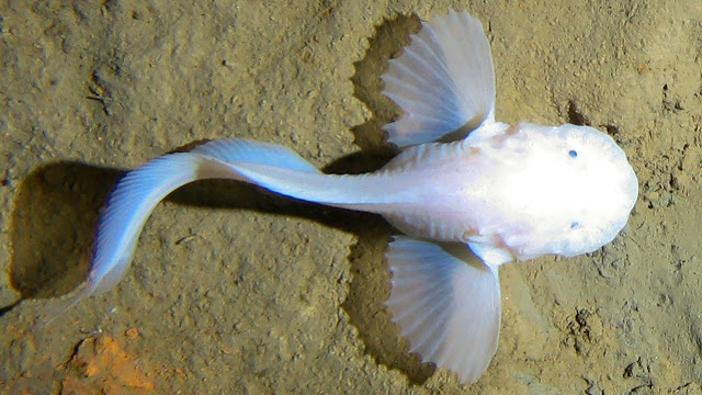 Самую глубоководную в мире рыбу показали на видео