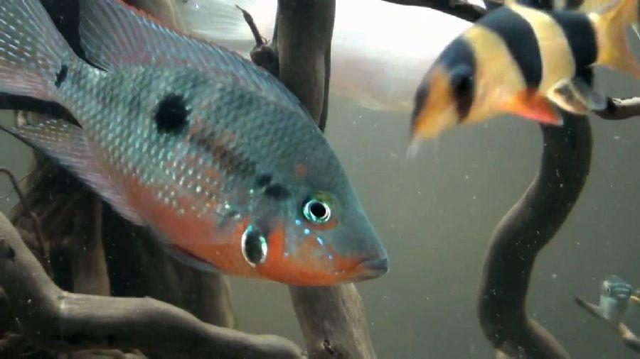 Gambar Budidaya Ikan Hias Mata Api (Firemouth Cichlild)
