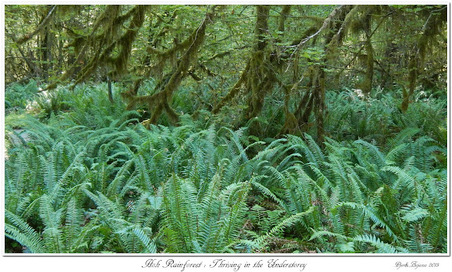 Hoh Rainforest: Thriving in the Understorey