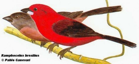 Brazilian Tanager birds