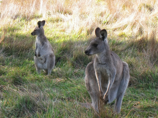 kangaroos at Tom Groggin