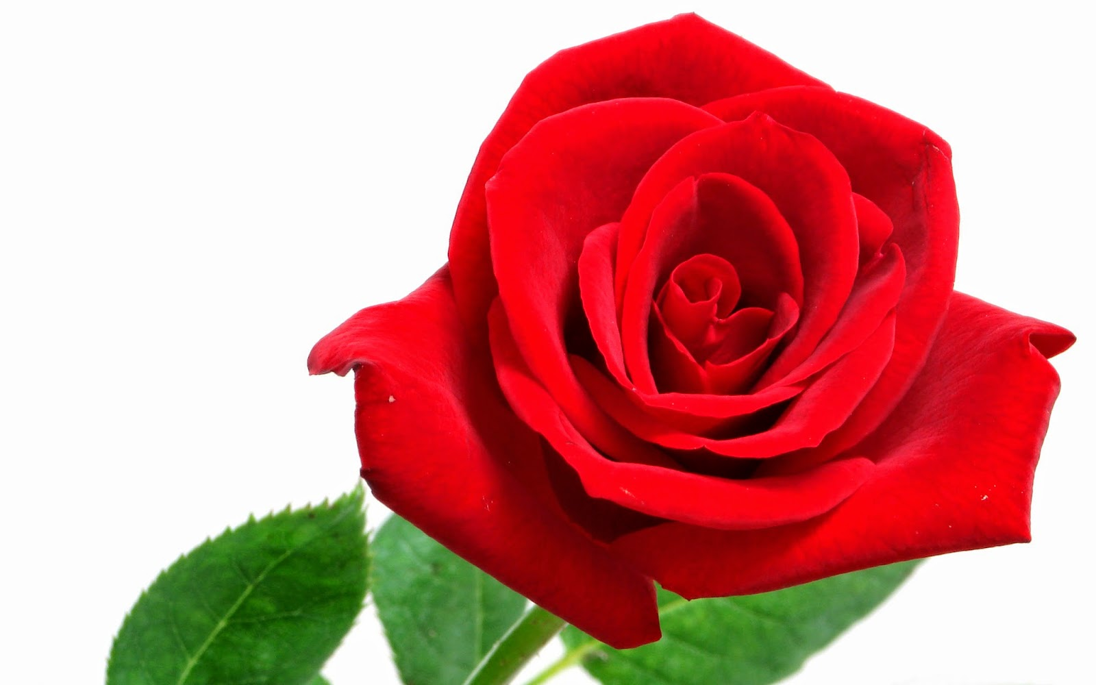 Red rose hd wallpapers for wide desktop laptop screen - Red rose flower hd images ...