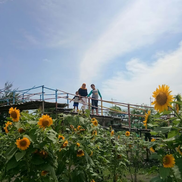 Kebun bunga matahari Bantul Yogyakarta