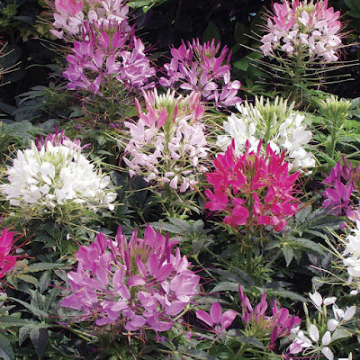 性喜溫暖、植株高大且花型美麗、難以言喻的璀璨魅力!