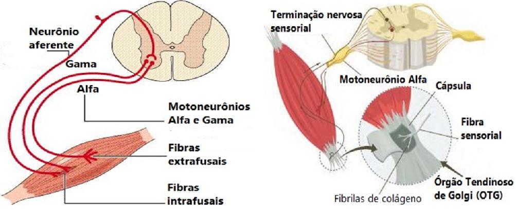 Resultado de imagem para fuso muscular