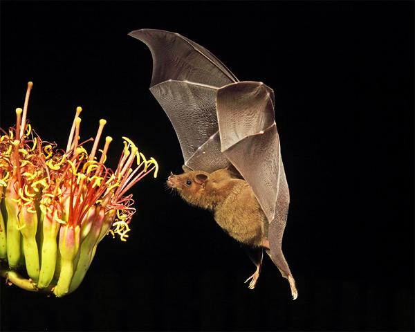 Nectarívoros / Polinívoros: são morcegos que, assim como os beija-flores (aves), alimentam-se de néctar e do pólen produzidos por muitas flores. São chamados morcegos beija-flores.
