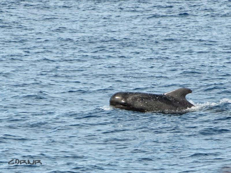 Balena, Oceanul Atlantic, Tenerife