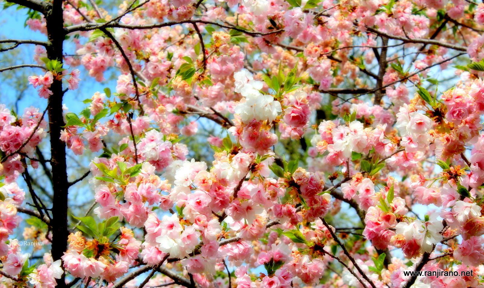 All gorie du printemps des cerisiers et un peintre botticelli paysages et fleurs au fil de - Greffe du cerisier au printemps ...