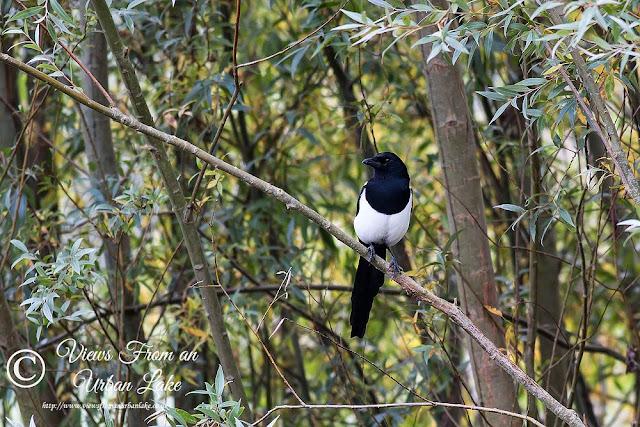 Magpie (or Black-billed Magpie) - Manor Farm, Milton Keynes