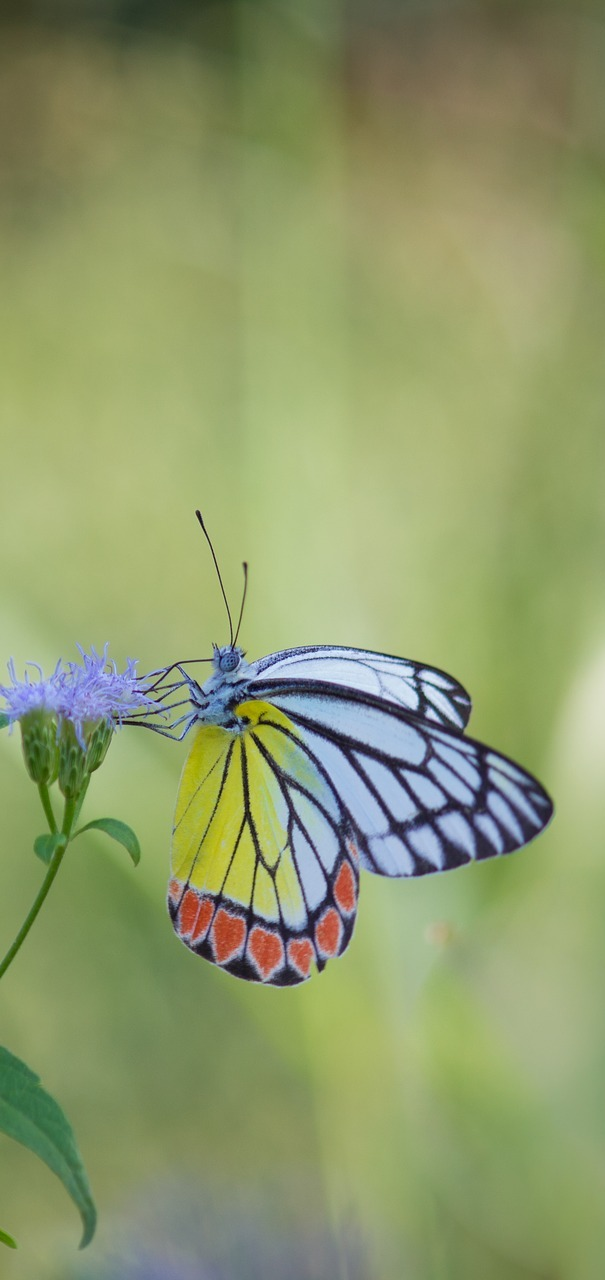 The common jezebel butterfly.