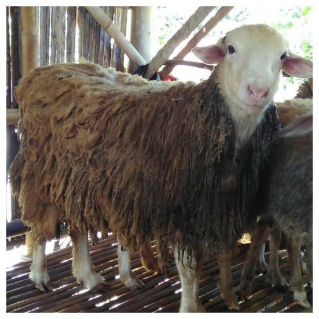 Domba Qurban