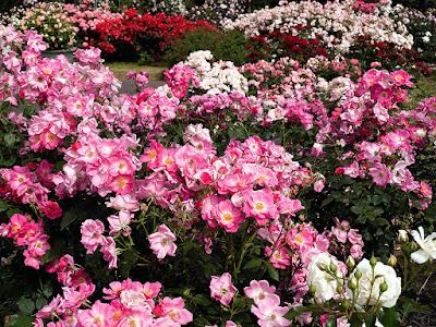 Rose garden_Ofuna Botanical Garden (Kamakura)