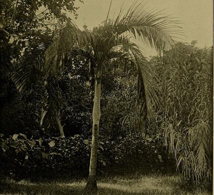 PALMERA DE LORD BENTINCK Bentinckia nicobarica