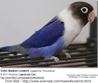 Lovebird Biru Topeng