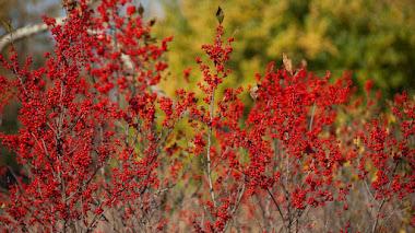 Arbustos del género Ilex: frutos ornamentales y estructura en el jardín