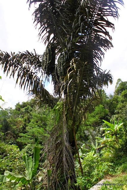 mengurangi angka kemiskinan dengan pohon aren