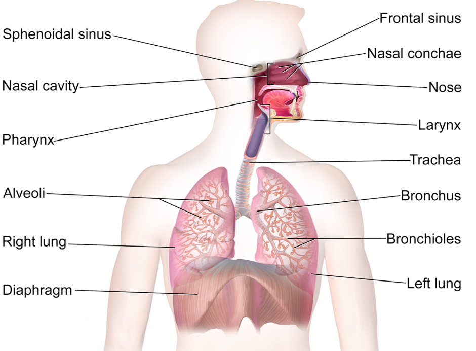 Respiratory System In Humans Class 10 Life Processes