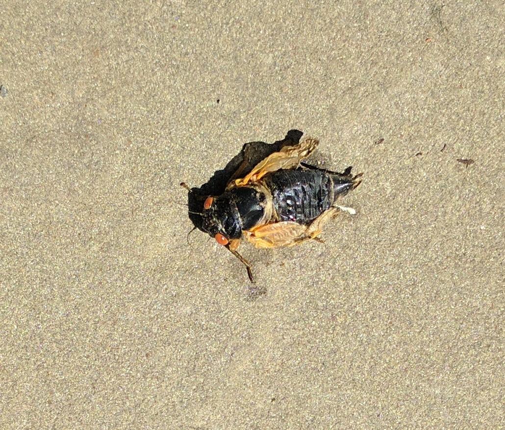 Cicadas Rhode Island