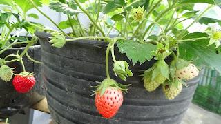 Contoh Tanaman organik mstech.co.id; strobery dalam pot
