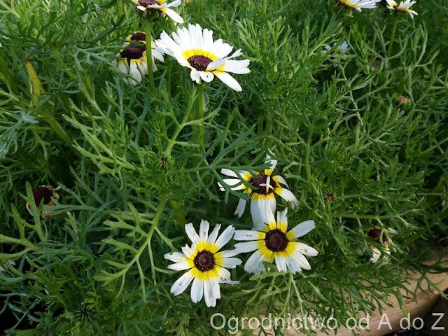 Chrysanthemum carinatum- Chrysanthemum tricolor