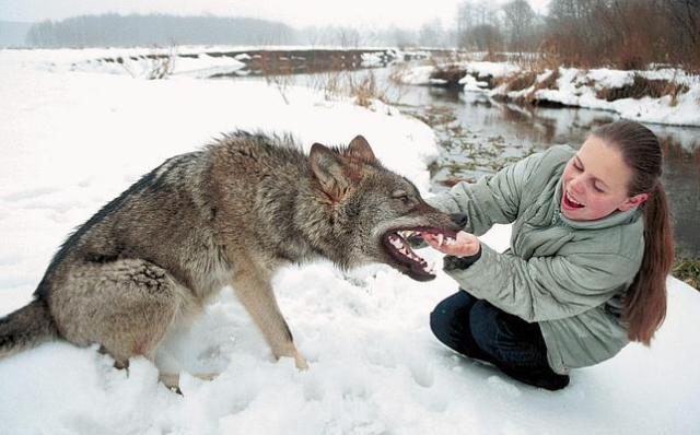 Nena Muerta Por Rot Wailer: ¿Por Qué Los Lobos No Se Pueden Domesticar Y Los Perros