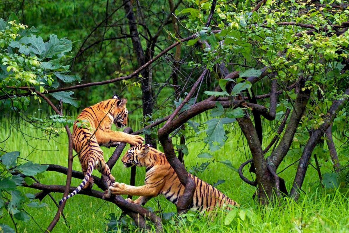 Lobos Perros Siluetas Mamíferos: Conoce Los Principales Parques Nacionales De La India