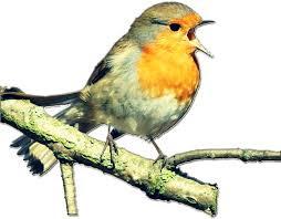 Jenis-Jenis Burung Berkicau