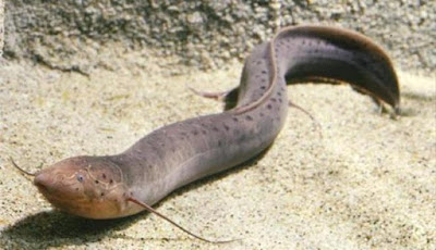 Lungfish, Ikan Ajaib yang Dapat Hidup Lama di Darat