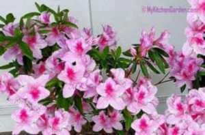 Growing Azaleas- Pink Azalea in a pot started from a cutting
