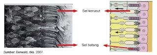 retina manusia
