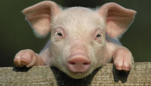 Pelajaran yang Dapat Diambil dari Diciptakannya Babi Meski Diharamkan dalam Islam