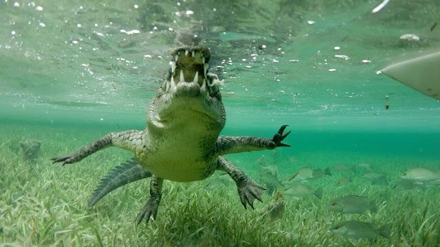 Crocodile swimming towards diver