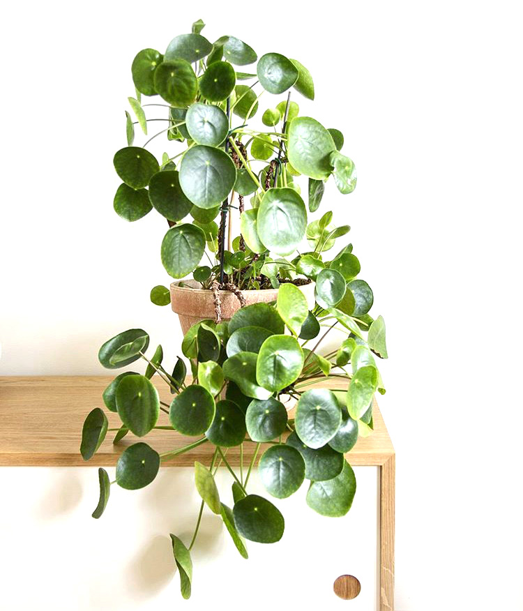 Mod and Mint: The Pilea Peperomioides. And why we will have too many. Photo @mittgronajag